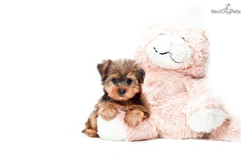 teacup shorkie puppies for sale shorkie puppy for sale near columbus ohio 1172b12d 29a1