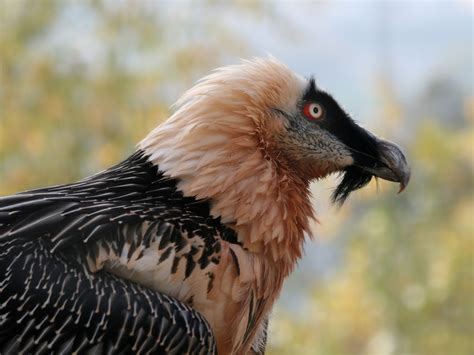 birds of the world old world vultures