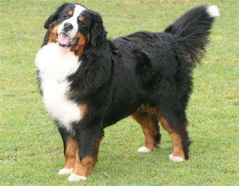 bernese puppy berner sennenhund breeds mountain bernese
