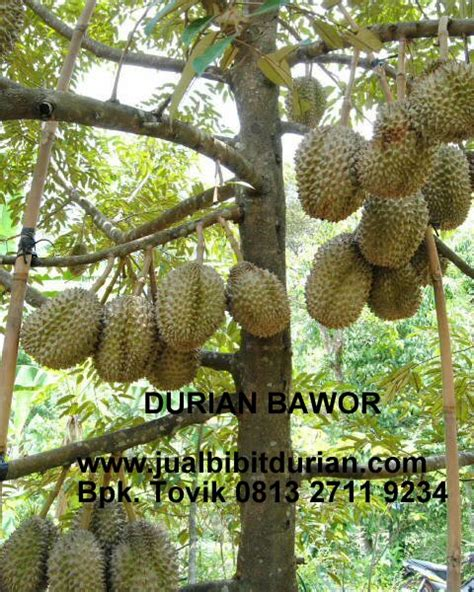 Bibit Kelengkeng King penjual bibit durian archives bibit durian montong