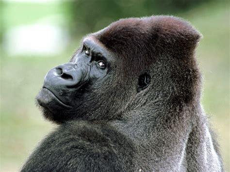 monkey and monkeys images gorilla hd wallpaper and background photos 14750697