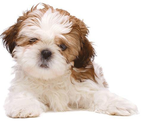 shih tzu gif voc 234 tem um shih tzu ent 227 o voc 234 precisa ver isso agora mesmo cachorro de 29 anos