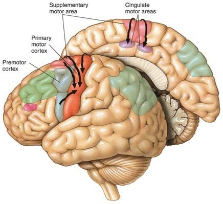 primary motor cortex function and location human physiology structure and function of the nervous