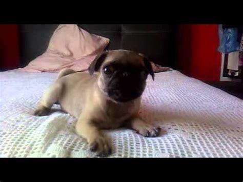 pug bebe perro pug bebe
