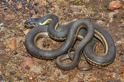 Garden Snake Oregon Practical 2 Identification Studyblue