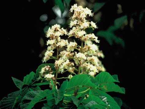 fiori di bach white chestnut white chestnut bachitalia it