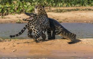 Jaguar Catching Caiman Jaguar Stalking And Ambushing Caiman From The Water