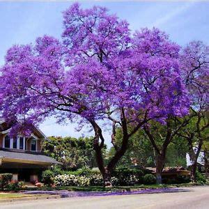royal empress tree , paulownia tomentosa 1 live plant 1
