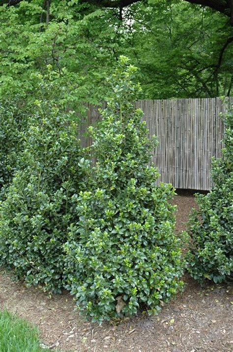 weeds in the backyard 4 feet tall 25 best ideas about shrubs for privacy on pinterest