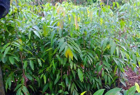 Bibit Glodokan Tiang jual pohon glodokan tiang murah jual bibit tanaman unggul