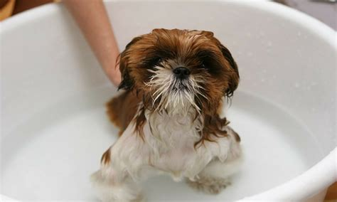 can you bathe a puppy at 8 weeks puppy socialisation at puppy pre school mercer and hughes