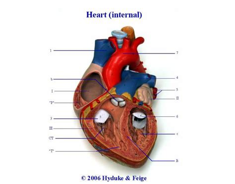 frontal section of the heart internal structure in a frontal section of the heart