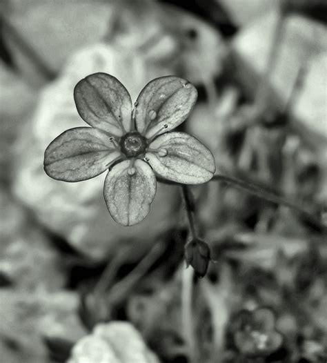 imagenes de flores grises jual beli rok bunga hitam putih online terlengkap tanpa