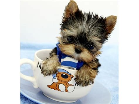 free puppies in idaho registered t cup yorkie puppies ready for adoptionn animals coeur d alene idaho