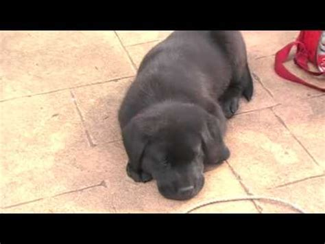 puppy keeps getting hiccups labrador puppy hiccuping