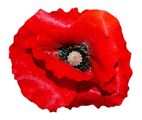 poppy background poppy flower png transparent image pngpix