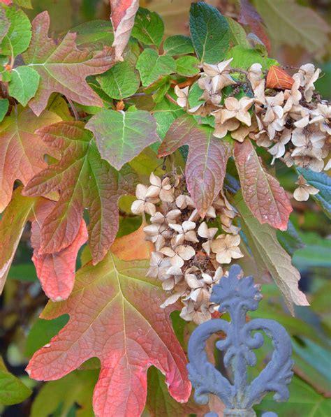 Oak Leaf Hydrangea: Native Plant of the Month - Tara Wildlife Oak Leaf Hydrangeas In Winter