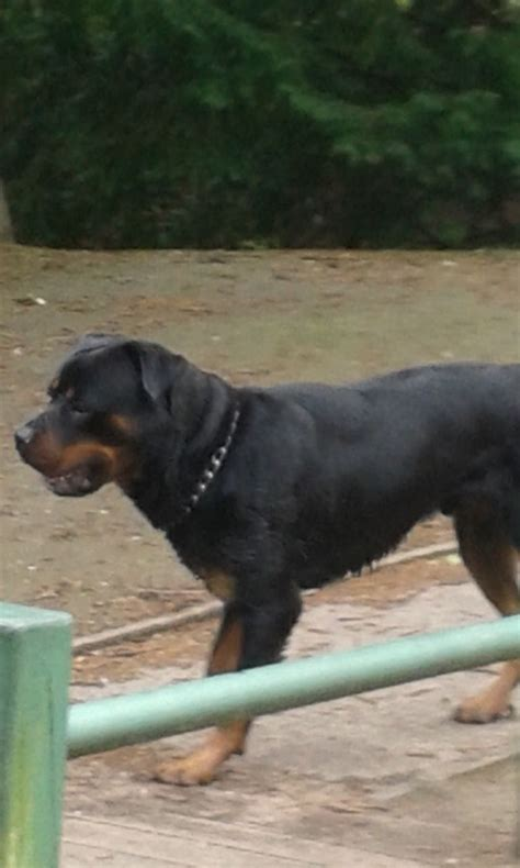 free rottweilers free rottweiler stud birkenhead merseyside pets4homes