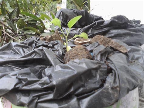 Bibit Terong Ungu Panjang menanam terung ayo berkebun di sekitar rumah