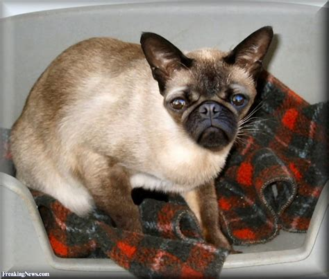 pug cat siamese cat and pug hybrid pictures