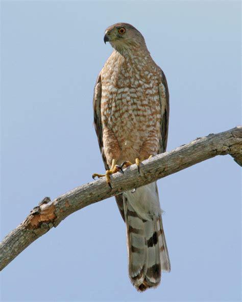 coopers hawks coopers hawk pictures coopers hawk cooper s hawk photos birdspix
