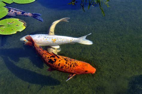 vasca per pesci da giardino vasche per pesci da giardino acquario per pesci