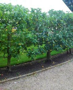 kei apples not really an apple would make a nice fruiting hedge privacy screen and adds
