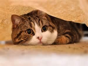 katze versteckt sich unter decke s 252 223 er maru auf dem sofa spielen macht spa 223