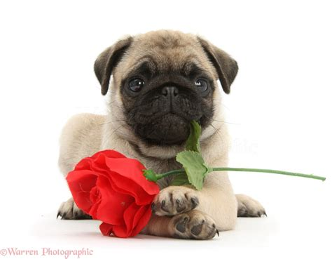 pugs and roses fawn pug pup and photo wp38127