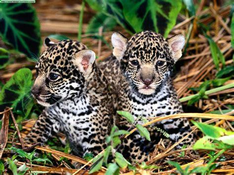 of jaguars leopards cheetahs and jaguars photos ii
