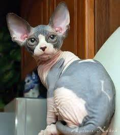 Calico Sphynx; Emma   Our Children Have 4 Paws   Pinterest