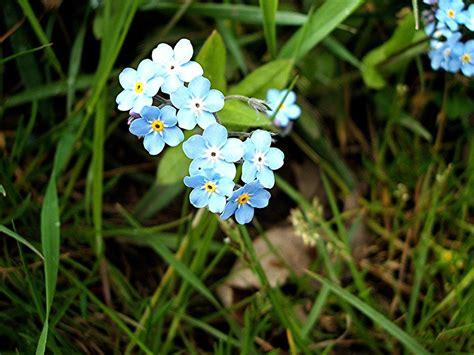 imagenes flores no me olvides flor de nomeolvides im 225 genes y fotos