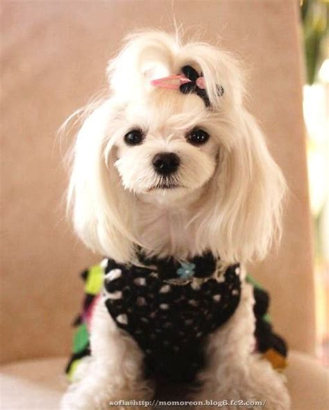 pictures of maltese dog haircuts 37 best images about penelope may on pinterest summer