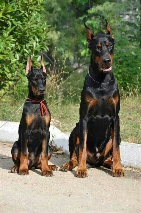 how much are doberman puppies best 25 doberman dogs ideas on