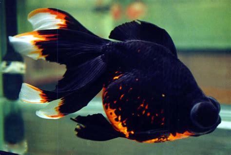 desain aquarium ikan koki gambar desain hiasan aquarium ikan koki baik sesuai baca