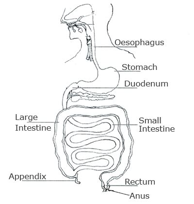 diagram of the intestines image gallery intestines diagram