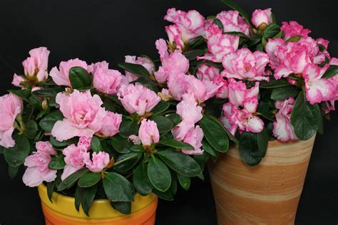 Rhododendron Pflege by Rhododendron Simsii