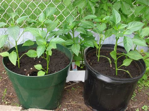 container gardening peppers 15 best veggies to grow in containers fresh organic