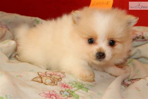 pomeranian names pomeranian names pomeranian names breeds picture