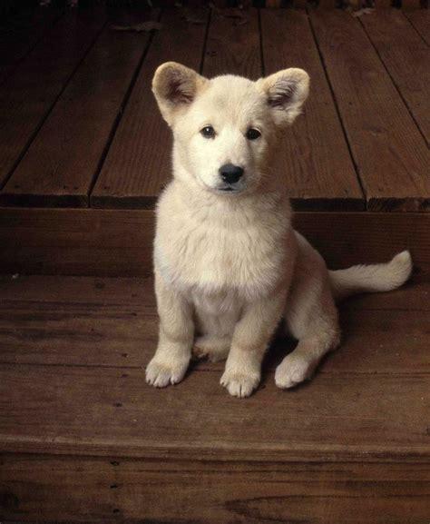 samoyed mix puppies images samoyed white german shepherd mix puppy twinkle atl my future