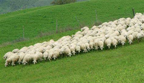 how to a to herd sheep sheep herd l avventura grande cheese