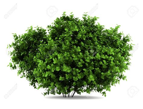 image result for bushes in background trees and bushes pinterest shrub and plants