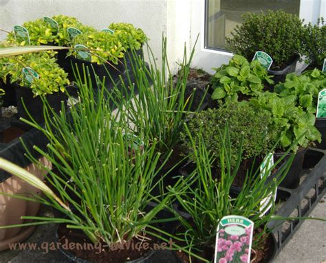 herb garden plants herb garden plants 7 herb growing tips for beginners