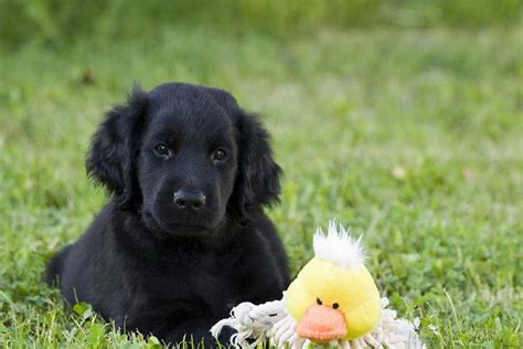 flat coated retriever puppy flat coated retriever breed information