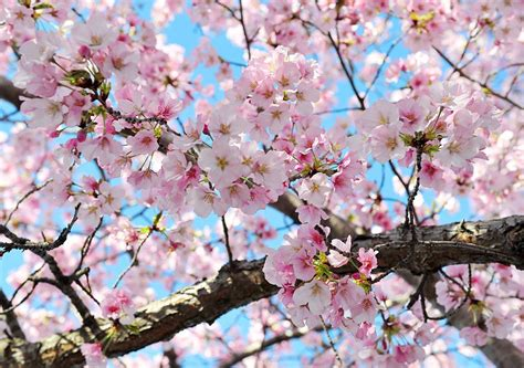 national cherry blossom festival blossoms reach peak just in time for national cherry