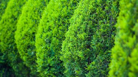 langsam wachsende thuja immergr 252 ne hecken die besten heckenpflanzen