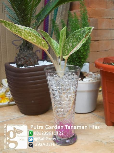 Jual Hidrogel Di Denpasar putra garden bali promo tanaman hias hidrogel unik untuk