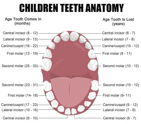 ages when baby teeth come in and fall out baby why are primary teeth so important