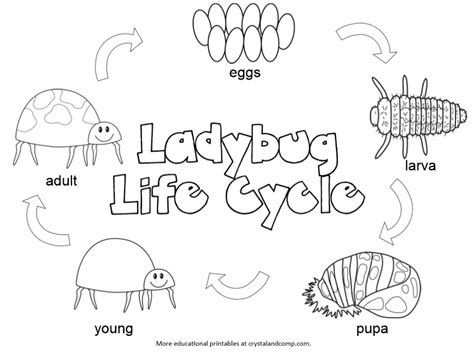 kid color pages ladybug life cycle lady bugs cycling