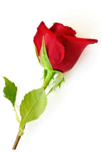 a rose among thorns high holidays